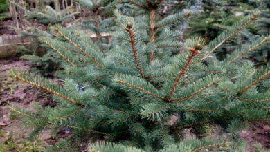 Photo of Ивантеевский лесопитомник начал подготовку к Новому году: порядка 5000 новогодних деревьев ждут хозяев